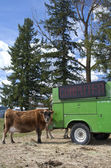 Hay on truck feeds cow. — Stock Photo