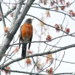 Robin in a tree. - Foto Stock