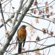 Perched robin. - Foto Stock