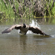 Goose prepares to land in water. — Stock Photo