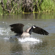 Goose lands in water. — Stock Photo