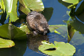 Muskrat on lily pad. — Stock Photo