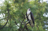 Osprey perched in a tree. — Stock Photo