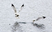 Ring billed gull chases another. — Stock Photo