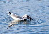 Gull swallowing a fish. — Stock Photo