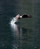 Eagle snatches fish. — Stock Photo