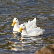 Two mallards close to shore. - Stok fotoğraf
