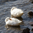 Two mallards with beaks buried. - Stock Photo
