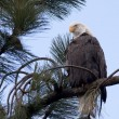 Portraiture of eagle. — Stock Photo