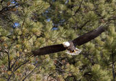 Eagle flies low by trees. — Stock Photo