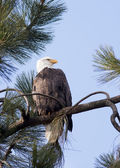 Side view of eagle. — Stock Photo