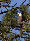 Eagle up in a tree. — Stock Photo