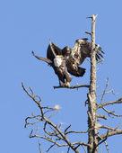 Junior eagle scares off eagle. — Stock Photo