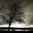 Stock Photo: B&W of tree at sunset.