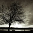 B&W of tree at sunset. — Stock Photo