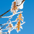 Stock Photo: Hoar frost on leaves.
