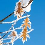 Изморози на листья — Стоковое фото