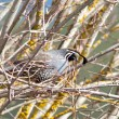 Quail perched on a branch. - Stock Photo