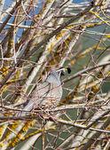Perched quail. — Stock Photo