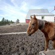 Horse in barnyard. - Foto Stock