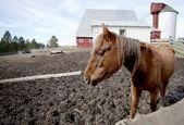 Cavalo no campo de sujeira. — Foto Stock