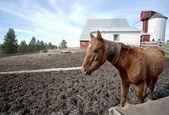 Horse in barnyard. — Stock Photo