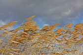 Golden Reeds blowing in the wind — Stock Photo