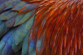Rooster Feathers — Stock Photo