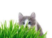 Kitten peeking out of the grass — Stock Photo
