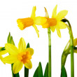 Yellow daffodils — Stock Photo #9054330