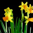 Yellow daffodils on black — Stock Photo #9323602