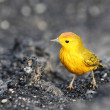 Stock Photo: Yellow Warbler