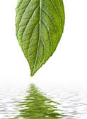 Spring leaf with reflection — Stock Photo