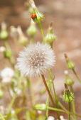 Dandelion and ladybug — Стоковое фото