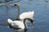 Pair of swans swimming together in pond — Stock Photo