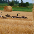 Group of canadian geese looking for food in a farmers field — Stock Photo