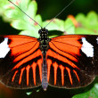 Stock Photo: Doris longwing, Heliconius doris butterfly