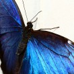 Blue morpho, Morpho, peleides, butterfly — Stock Photo