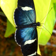 Stock Photo: Sarlongwing, Heliconius sara, butterfly
