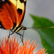 Tiger longwing, Heliconius hecale, butterfly on flower eating nectar — Stock Photo #9250647