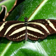 Stock Photo: Zebrlongwing, Heliconius charitonius, butterfly