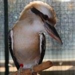 Laughing Kookaburra; Dacelo Novaeguineae; — Stock Photo