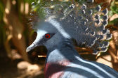Victoria crowned pigeon, Goura victoria, largest pigeon in the world from N — Stock Photo