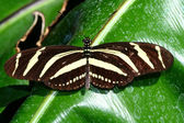 Zebra longwing, Heliconius charitonius, butterfly — Stock Photo