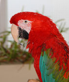 Ara macao, scarlet macaw parrot — Stock Photo