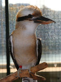 Laughing Kookaburra; Dacelo Novaeguineae; — Stock Photo
