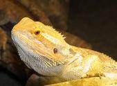 髭があるドラゴン、オーストラリアから pogona vitticeps — ストック写真
