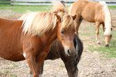 Miniature horses — Stock Photo