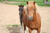 Mini horse mother and foal — Stok fotoğraf
