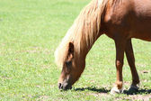 Miniature horse grazing — Stock Photo